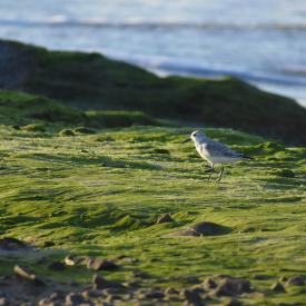 Piper-Sandpiper-Sanderling-Walking-On-Moss_GettyimagesKeidy-SotoEyeEm